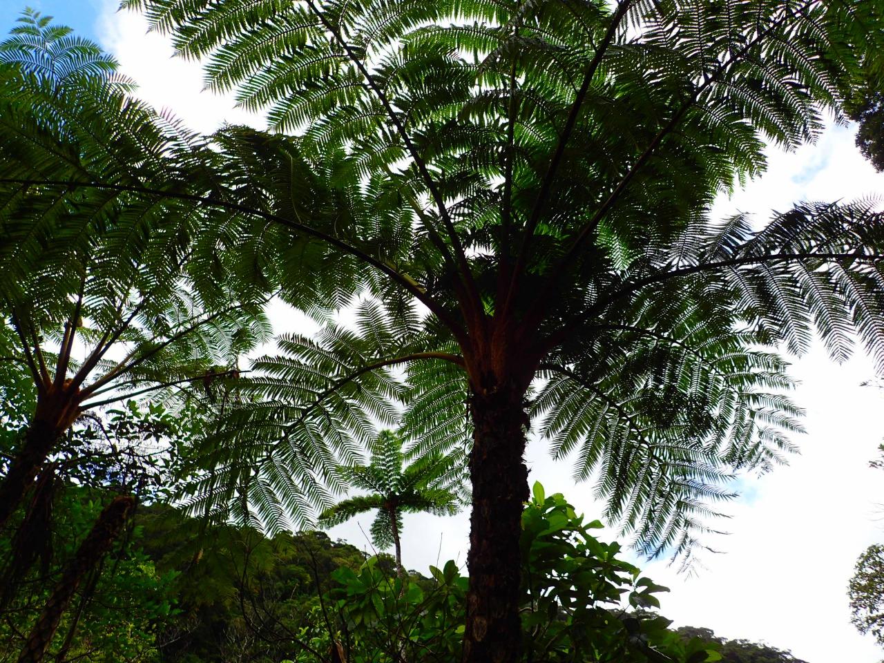 大型の木性シダの木