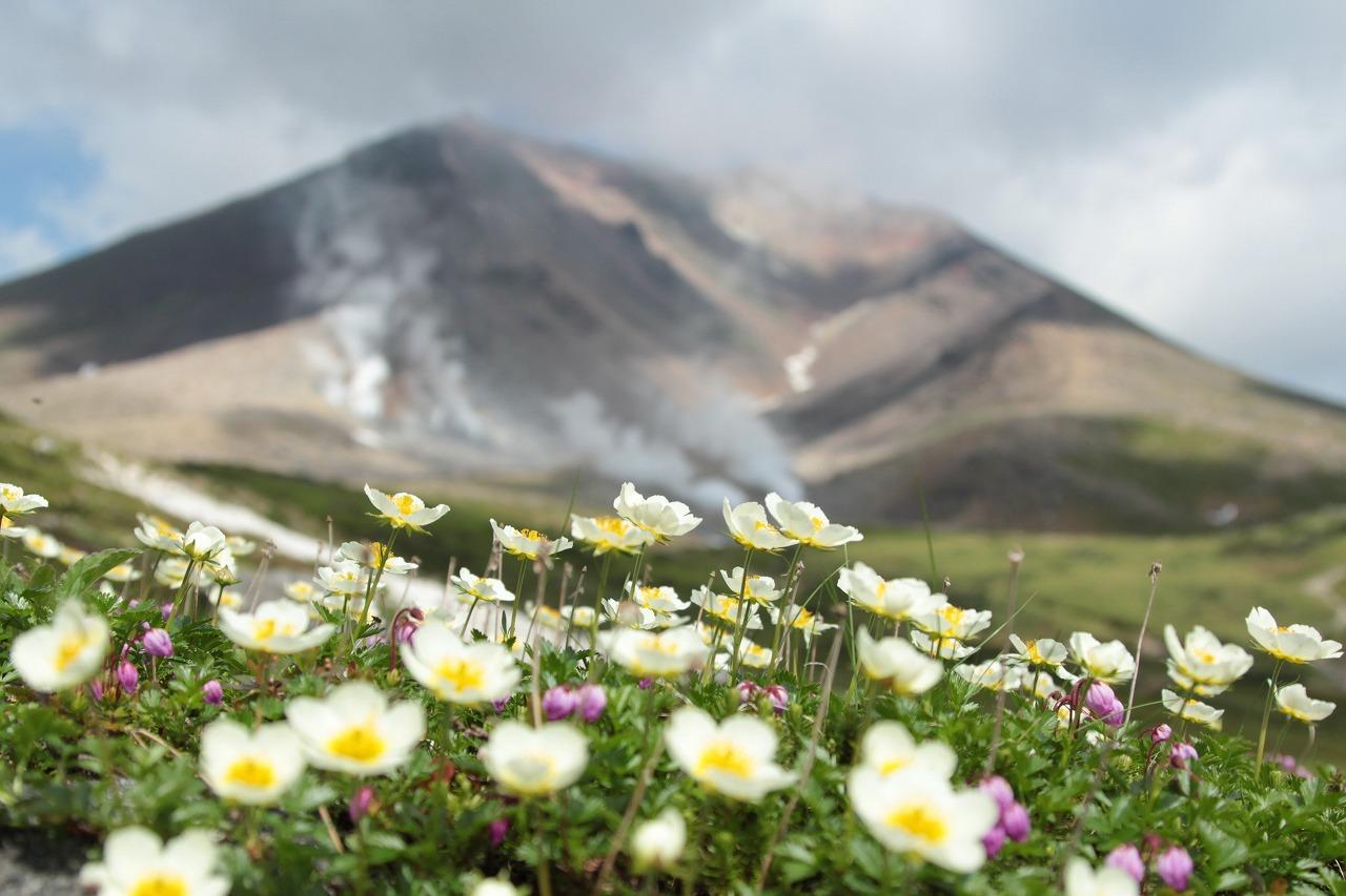 チングルマのお花畑と旭岳 (撮影=天野和彦)