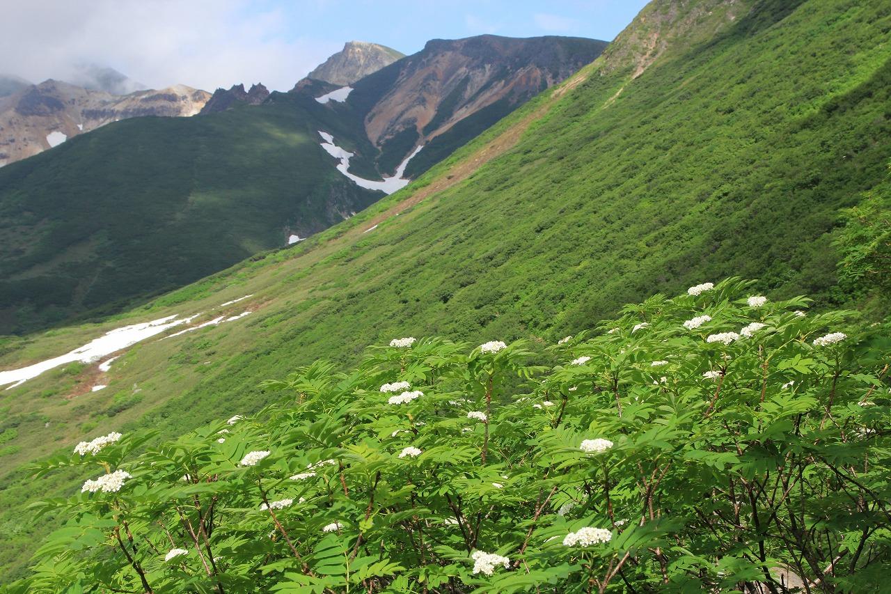 富良野岳山麓のウラジロナナカマド (撮影=天野和彦)