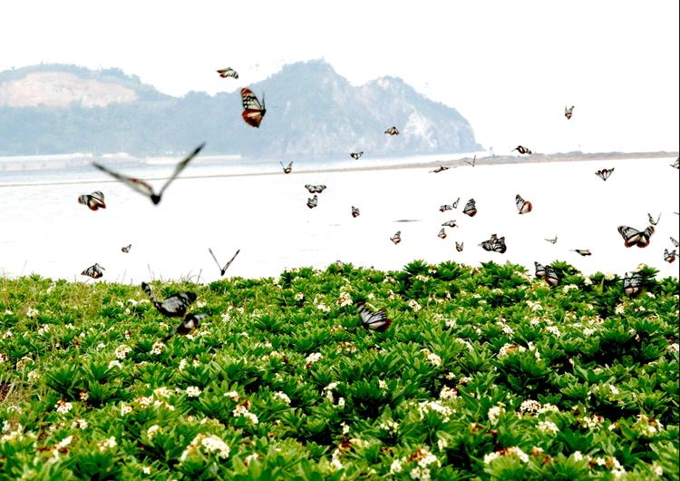 1年に2回、アサギマダラの飛来シーズンを迎える姫島を訪問
