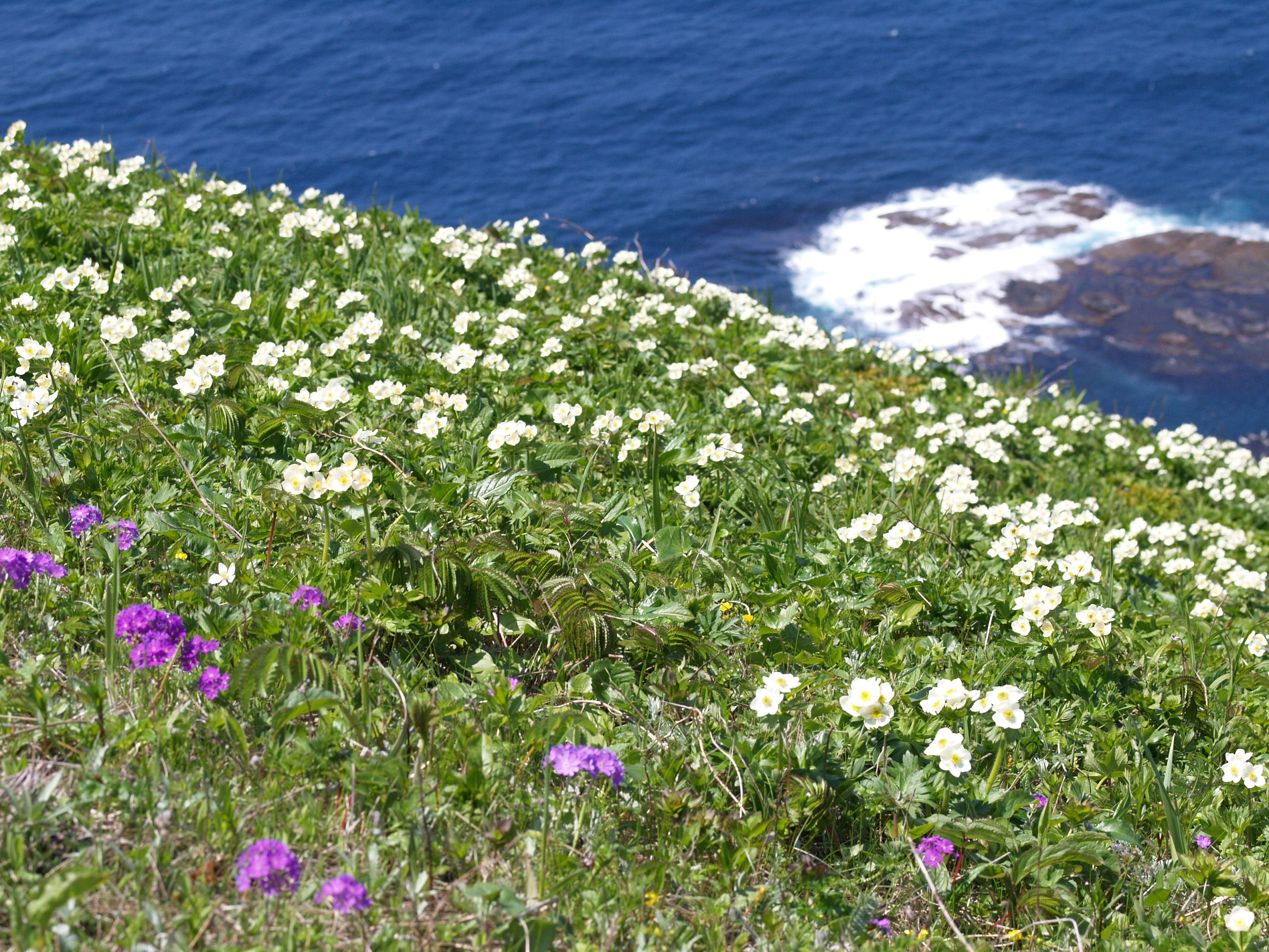 海岸近くから高山植物が咲き乱れます