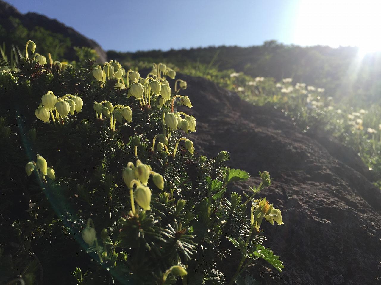 朝日に輝くアオノツガザクラ