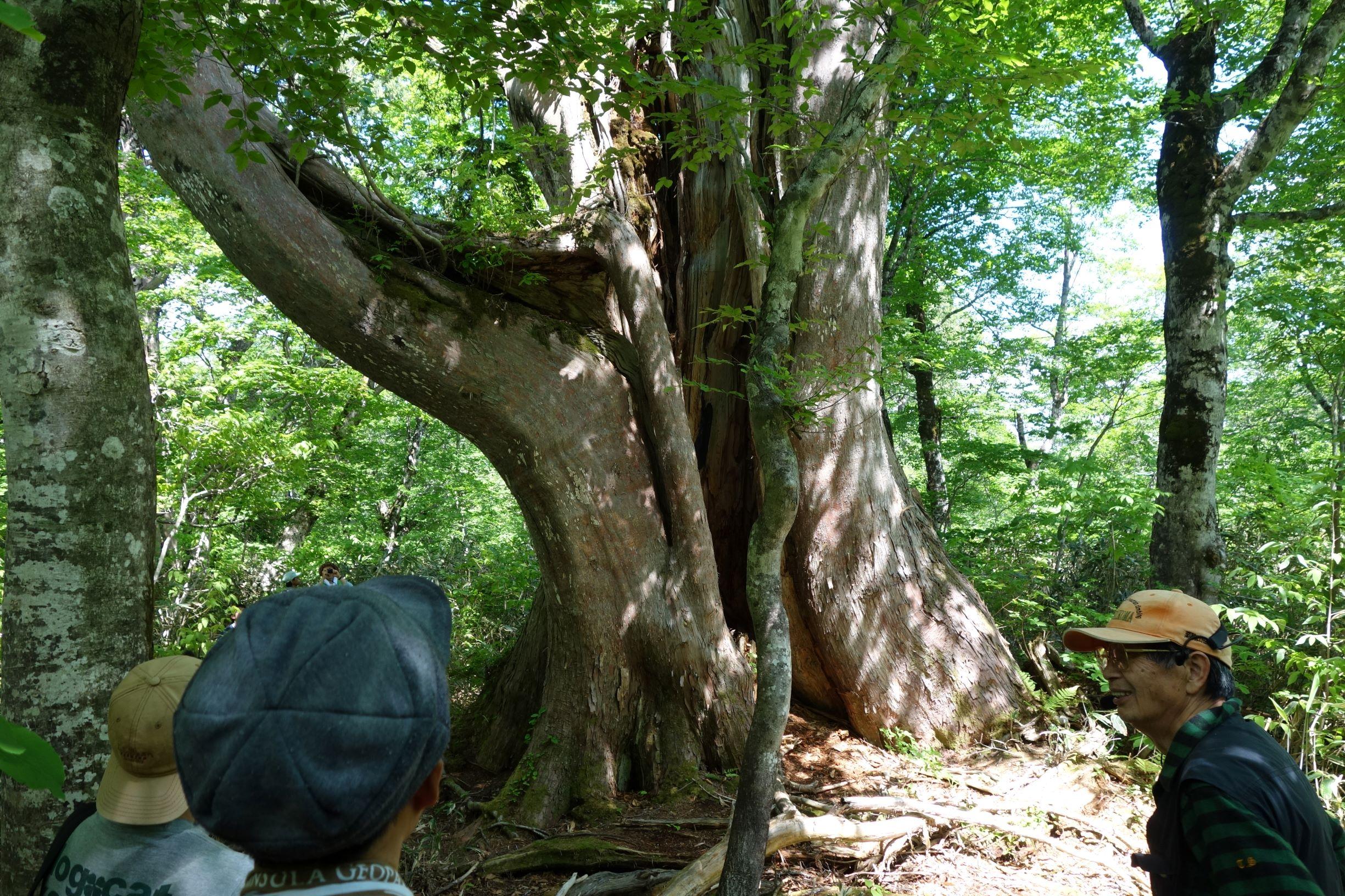 日本一の幹周があるクロベの巨木