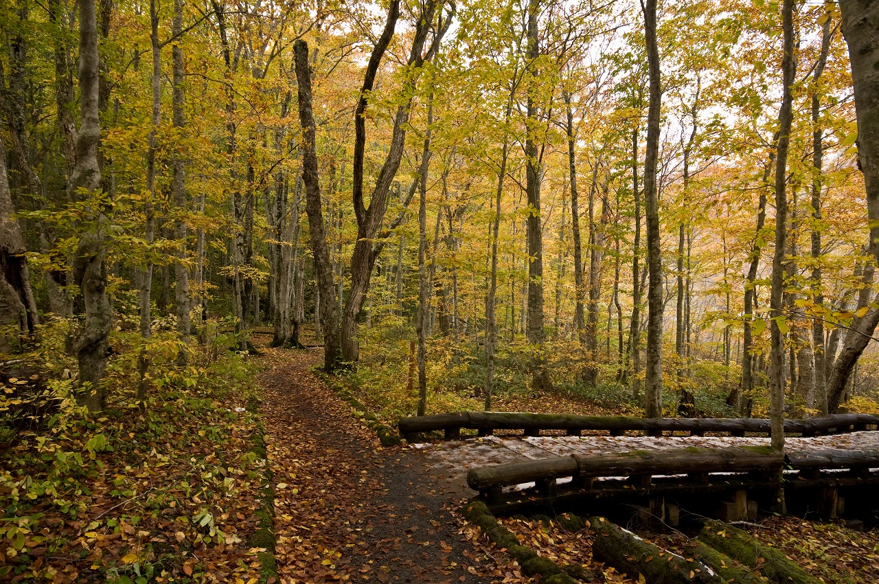 蔦沼周辺の紅葉の森