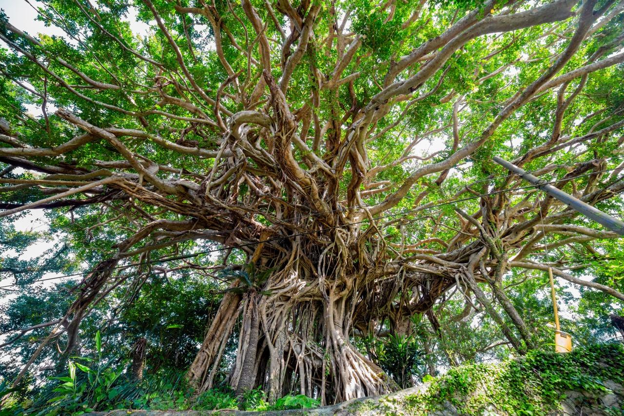 徳之島の阿権の樹齢300年のガジュマル