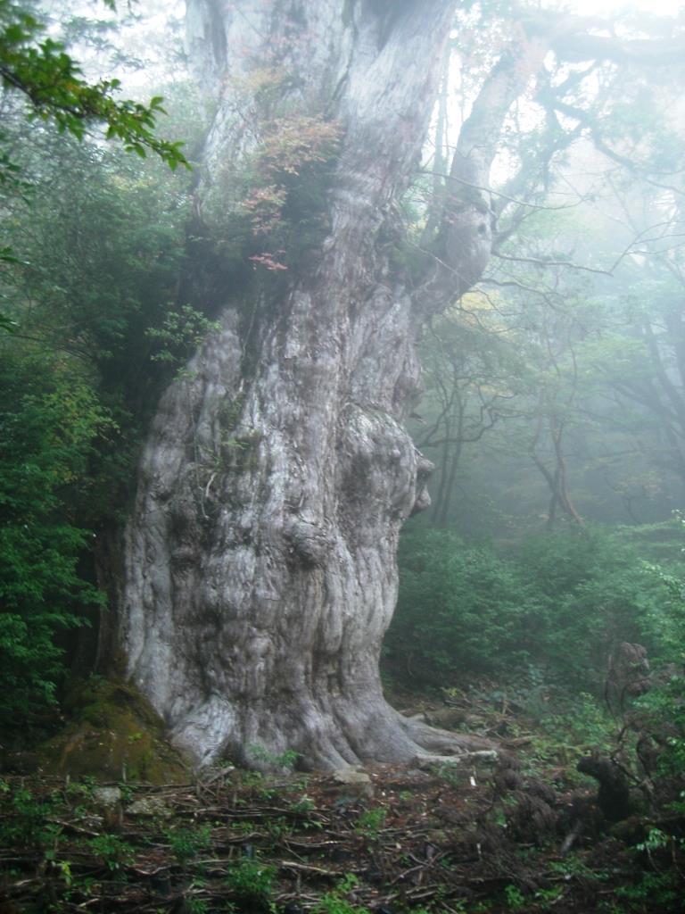 最大の屋久杉、縄文杉