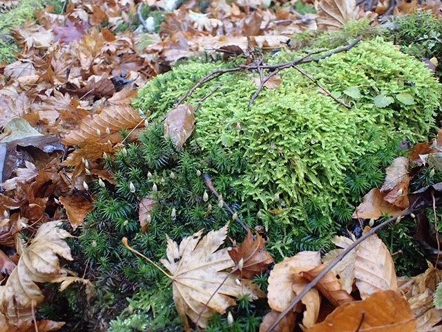 秋の西大台 沢山の苔の種類がありモフモフの世界が広がっています。