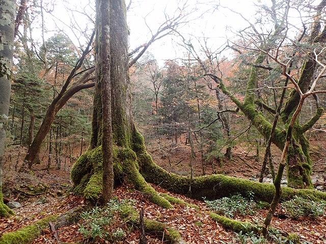 秋の西大台 静寂の森を歩く