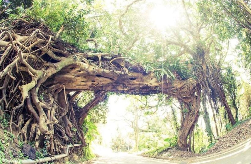種子島のアコウの木のアーチ